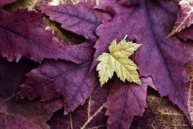 PurpleLeaves